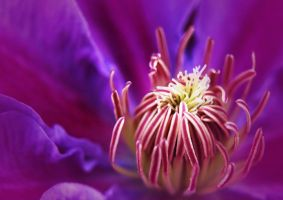 Clematis bloomin 2 by photonig
