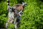 Lemur Catta with Baby in the grass by neo1984com