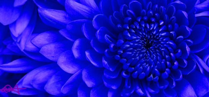Blue Chrysanthemum by wildlittlewolf13