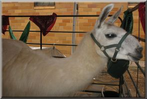The dArama Llama by WDWParksGal