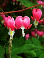 Bleeding hearts by Chabbie