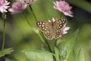 Speckled Wood 2 by Tinap