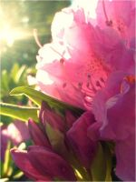 Rhododendron by digitalTouch