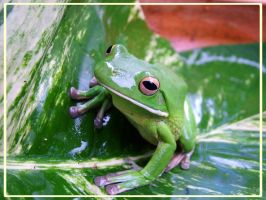 White Lipped Green Tree Frog by FNQ