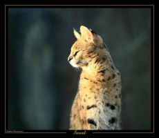 Serval 1 by caracal