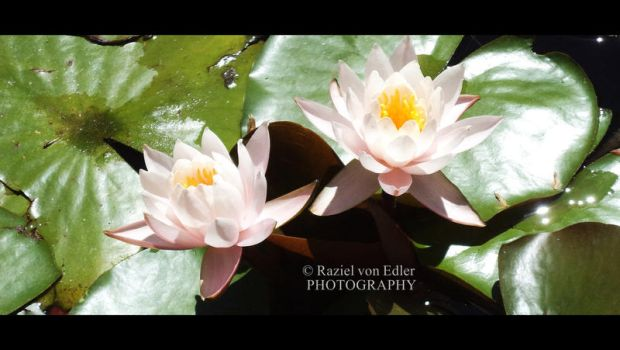 DSC01149Lotus by RazielMB-PhotoArt
