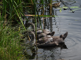 Duck and Cygnets by Atlantagirl