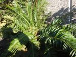 Western Sword Fern by AmongTheFirst