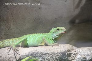 Chinese water dragon by BazarDeLaNature