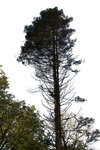 Pine Tree Stock 02 PNG.. by AledJonesStockNArt