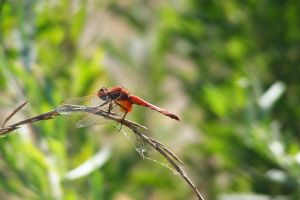 dragonfly by rcontre57