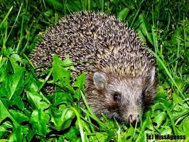Hedgehog by MissAgness