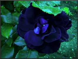 Dark Rose by MPAMPoULAs