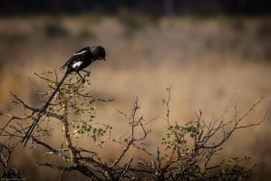 Magpie Shrike by winter-halo