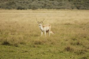 Young male deer by jochniew