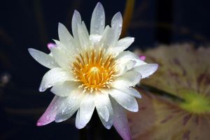 Water Lily2 by deadrose333