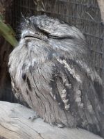 Adelaide Zoo 2014: Tawny Frogmouth by lizardman22