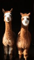 mr and mrs llama by NickiStock