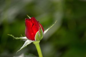 First bud from my bush by TomKilbane