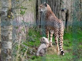 2014 - Cheetah and cub by Lena-Panthera
