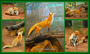 The Caversham Foxes by iFoxSpirit