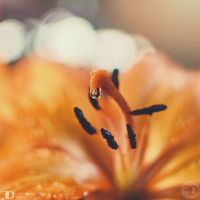 Orange lily by FrancescaDelfino