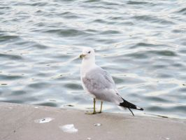 Gull at Genesee River by musicsuperspaz