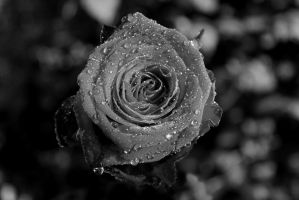 Black and white - Rose by BirtheBM