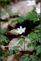 Deep Forest Anemone by Clu-art