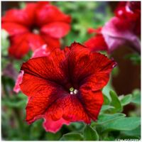 Red explosion by Photographia-Paulo