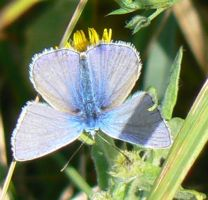 An upsidedown male common blue by KaiHallarn111