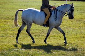 Grey pony ridden trot side on by Chunga-Stock