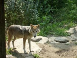 Mexican Wolf by HappyPenguins
