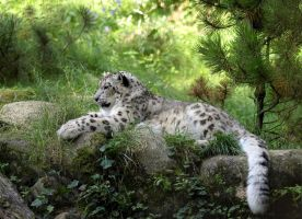 Snow Leopard by orestART