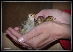 Babyquails by bluediabolo