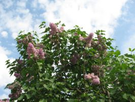 Stock: Flower bush/Sky 2 by Think-Outside-Of-Box