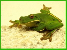 Green Tree Frog 1 by FNQ