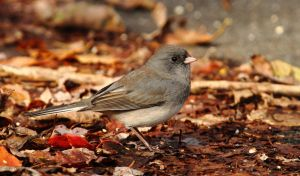 Fall dirt road Junco by natureguy