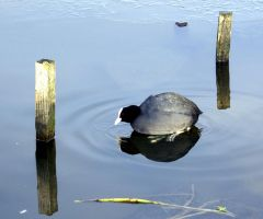Coot goalie by karliosi