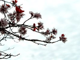 Ornimental Plum blossoms 1.0 by kayosa-stock