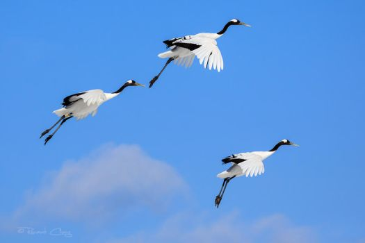 .:Floating Cranes:. by RHCheng