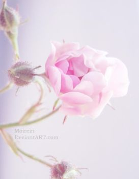 My pink dream. by Moirein