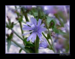 Chickory by David-A-Wagner