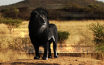 Black Lion wallpaper by PAulie-SVK