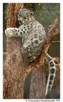 Baby Snow Leopard: In Tree II by TVD-Photography