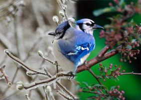 Blue Jay: Winter and Spring by PressToShoot