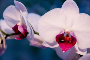 White Orchids by Slolv