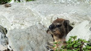 Dassie is confused by Thaylien