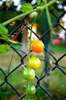 Growing Tomatoes by Riixon
