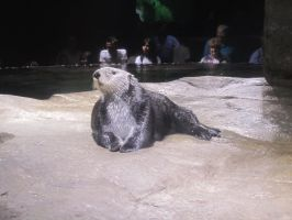 otter by oreolovers77